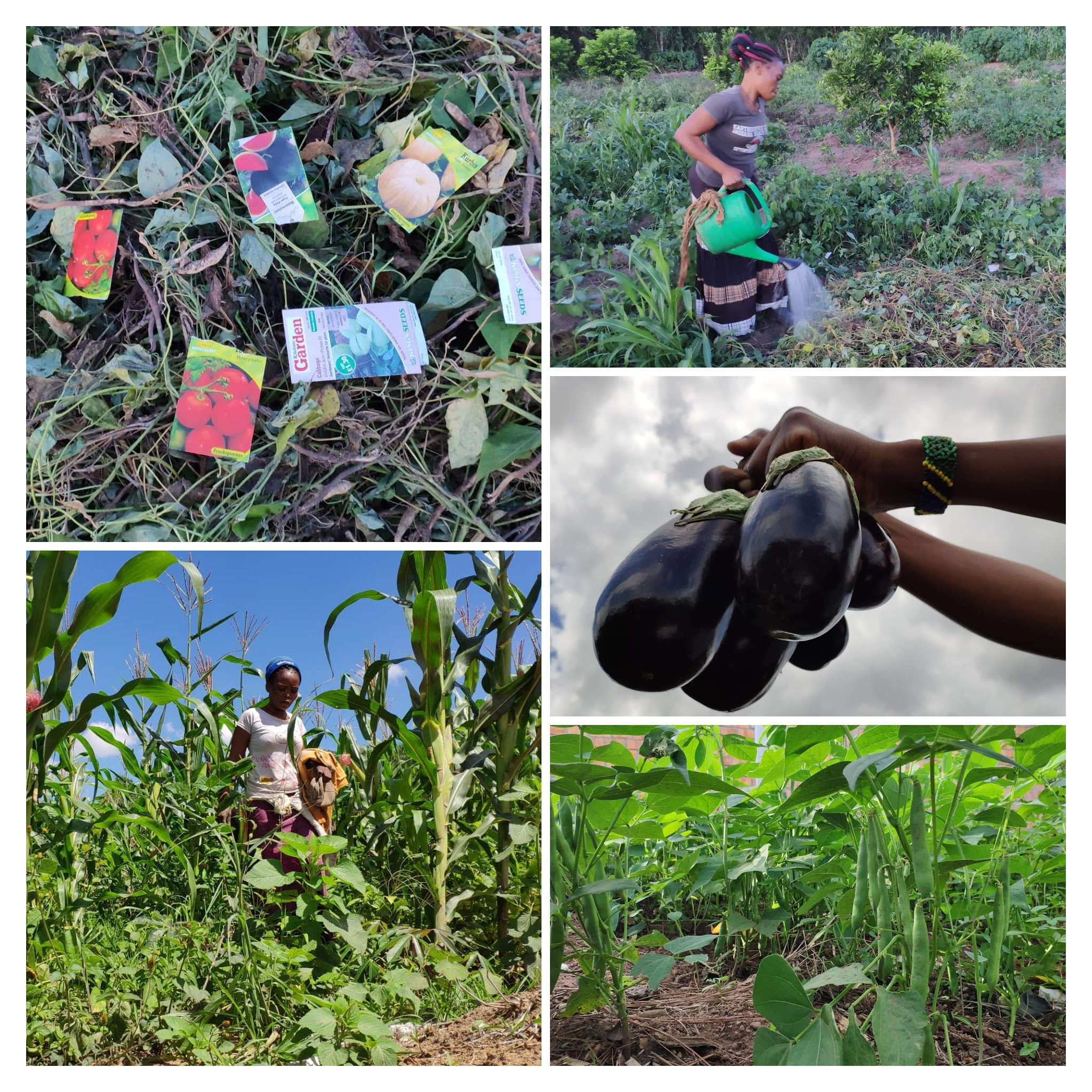 Dwarf Beans, Aubergines and Maize growing on the Farm